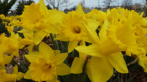 Daffodils and tulips are in bloom in Virginia, just in time for board meeting.